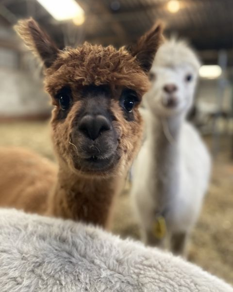 Dutch Alpaca.