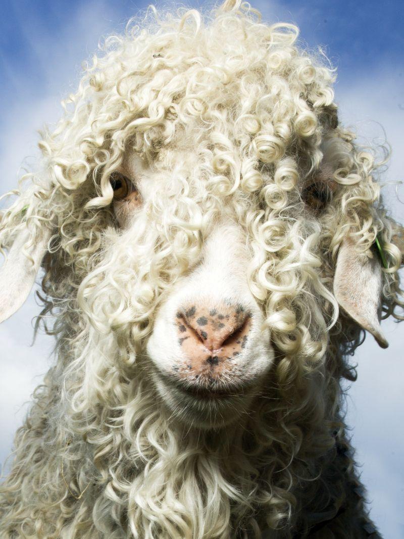 Mohair goat.