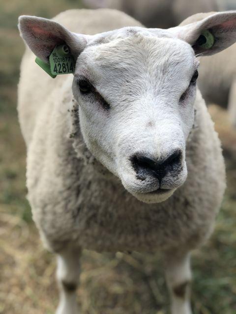 Texelaar sheep.