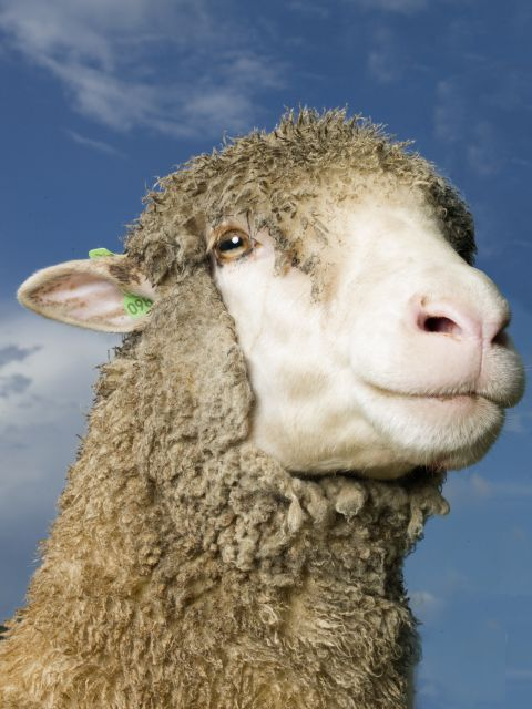 Merino sheep.