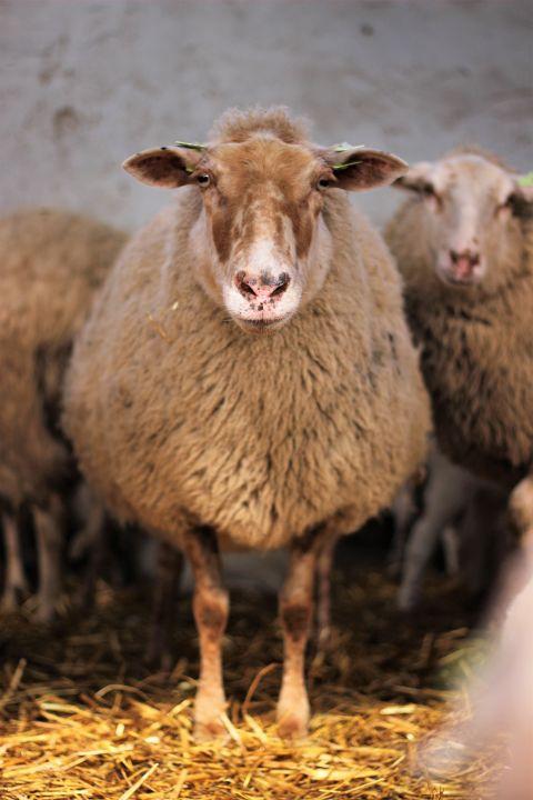 Kempisch heath sheep.